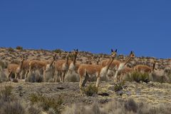 Vicuna in Lauca National Park, Chile Stock Photography