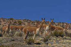 Vicuna in Lauca National Park, Chile Stock Image