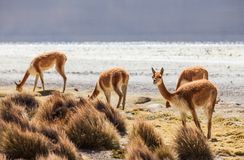 Vicuña in the Chilean Altiplano Royalty Free Stock Photography