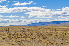 Group of Vicunas at Patagonia Landscape, Argentina Stock Image