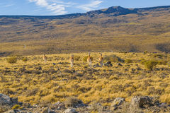 Group of Vicunas at Patagonia Landscape, Argentina Royalty Free Stock Photography