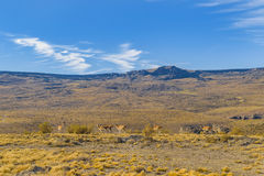 Group of Vicunas at Patagonia Landscape, Argentina Royalty Free Stock Photos