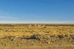 Group of Vicunas at Patagonia Landscape, Argentina Royalty Free Stock Photo