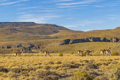 Group of Vicunas at Patagonia Landscape, Argentina Stock Images