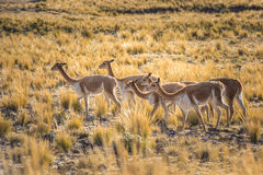 Group of vicunas in the peruvian Andes Stock Images