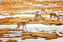 Vicunas in atacama desert. Group of vicunas or vicugnas, south american camelids, grazing in altiplano region of atacama desert in chile Royalty Free Stock Image