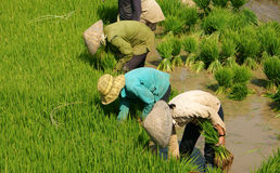 Group of Vietnamese farmer sow rice Stock Image