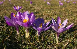Group of violet crocus vernus in the mountain. Italy, Europe royalty free stock photo