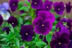 Group of violet viola flowers stock image