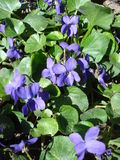 Violets. Group of violets flowers and leaves in the sunshine in a garden Stock Photography