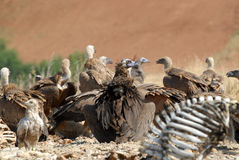 A group of vultures Stock Images