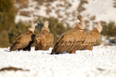 Group of vultures Stock Photography