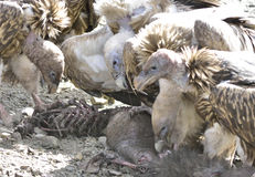 A group of vultures are eating dead animals. Stock Image