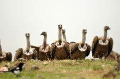 Group of vultures in the field Stock Photos