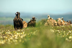 group of vultures in the field in spring bloom Stock Images