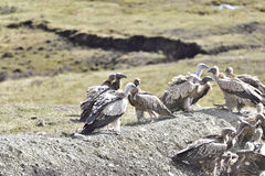 A group of vultures ready to eating Royalty Free Stock Photography