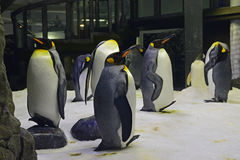 A group or waddle of King Penguins at Sydney Aquarium Stock Images