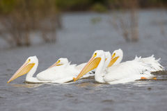 Group of wading white pelicans. In Oklahoma stock photo