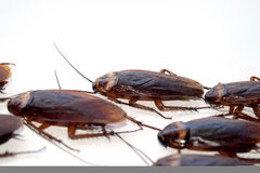 Group walk cockroach isolate on white background Stock Images