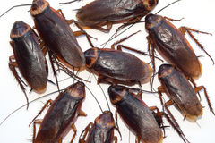 Group walk cockroach isolate on white background Royalty Free Stock Image