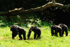 Group of walking chimpansee. Group of  4 chimpansee walking in grass with dark woud background Stock Image