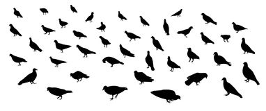 Group of walking dove and pigeon in silhouette art. Group of walking dove and pigeon in silhouette, vector art Royalty Free Stock Photography
