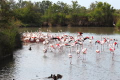 Group of walking flamingos in the Camargue, France stock photo