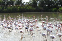 Group of walking flamingos, Camargue region, France royalty free stock photography