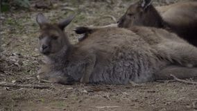 Group of wallaby kangaroos resting stock footage