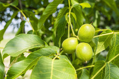Group walnut. Group of three walnut (Juglans regia L., Persian walnut, English walnut) on a twig Royalty Free Stock Images