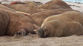 Group of walruses close up relax on shore of Arctic Ocean in Svalbard. stock footage