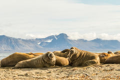 Group of walruses on Prins Karls Forland, Svalbard Stock Photo