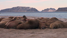 Group of walruses relax near water on shore of Arctic Ocean in Svalbard. stock footage