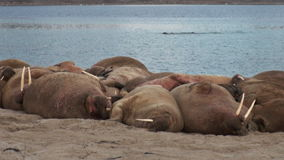 Group of walruses relax near water on shore of Arctic Ocean in Svalbard. stock video