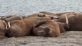 Group of walruses relax on shore of Arctic Ocean in Svalbard. stock video