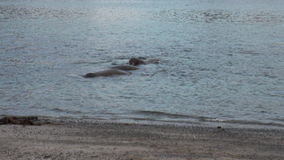 Group of walruses relax in water near shore of Arctic Ocean in Svalbard. stock video footage