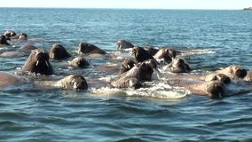Group of walruses rest in water of Arctic Ocean on New Earth in Russia. Unique landscape of wildlife in background of desert. Ecotourism in wilderness. Wild stock video