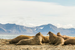 Group of walruses on Prins Karls Forland, Svalbard Royalty Free Stock Image