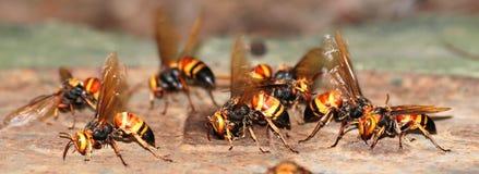 A group of wasps macro Stock Image