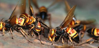 A group of wasps macro Stock Photography