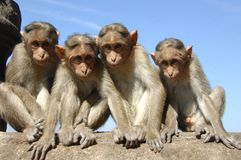 Group of watching monkeys. A group of monkeys sitting on a wall watching the world go by royalty free stock photography