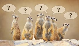 Group of watching surricatas with question marks Stock Image