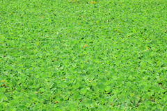 Water lettuce Stock Images