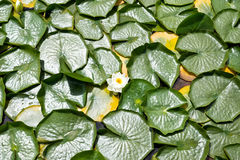 Group of Water Lilies Stock Photos