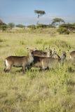 Group of waterbucks looking into camera, Lewa Conservancy, Kenya, Africa Royalty Free Stock Photography