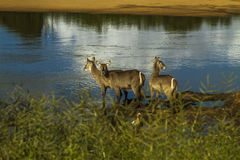Group of waterbucks in the riverbank in Kruger Park, South Africa Royalty Free Stock Photography