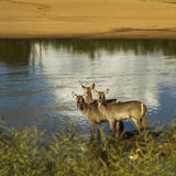 Group of waterbucks in the riverbank in Kruger Park, South Africa Royalty Free Stock Image