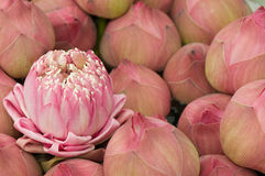 Group of waterlily Stock Photos