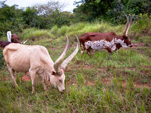 A group of watusi bulls is grazing. A group of Watusi bulls grazing on the background of trees Royalty Free Stock Photography