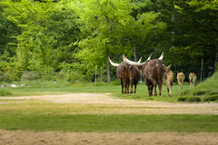 Group of watusi Stock Images